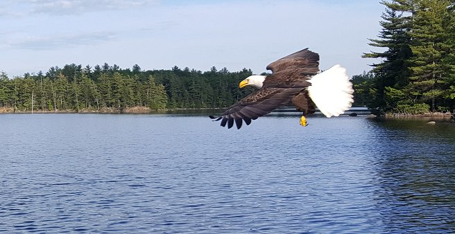 Watch Bald Eagles